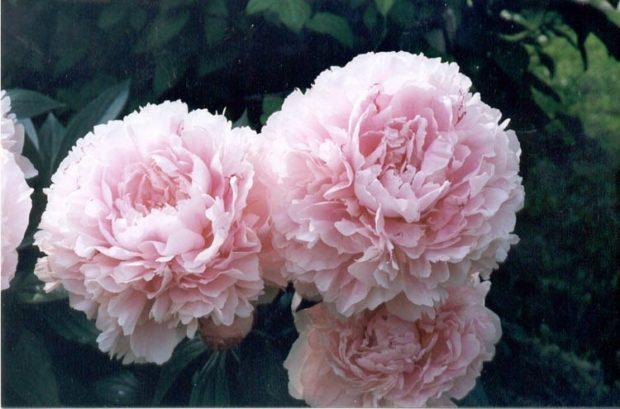 модный парфюм 2018-2019: пион розовый