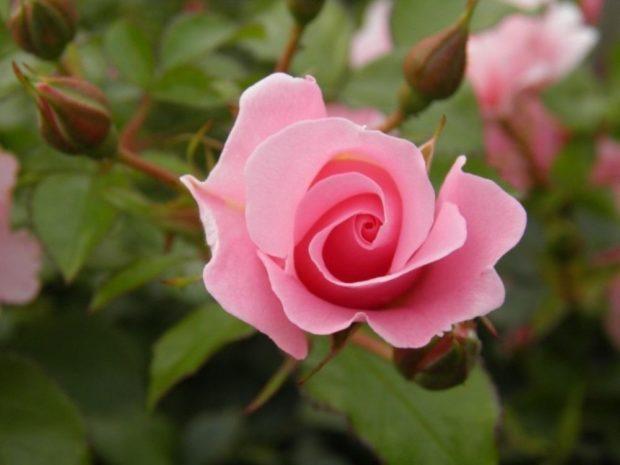 Туалетная вода 2018-2019: роза розовая