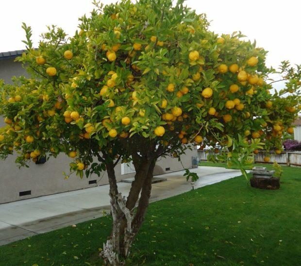 модная туалетная вода для женщин 2018-2019: лимонное дерево